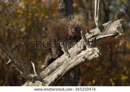 Porcupine (Erethizon dorsatum) Gazes Out from Branch - captive animal - stock photo