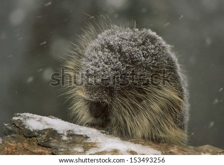 Porcupine (Erethizon dorsatum) is a large rodent. Its body is covered by spines on the neck, back and tail. It's only predator is the Fisher. A herbivore feeding on plants, trees and bark. - stock photo