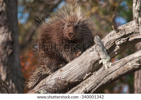 Porcupine (Erethizon dorsatum) Looks Down from Branches - captive animal - stock photo