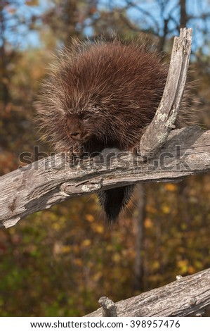 Porcupine (Erethizon dorsatum) Looks Down from High Branch - captive animal - stock photo