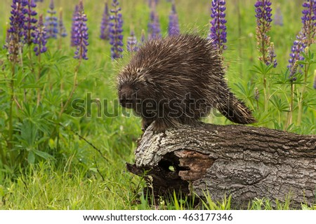 Porcupine (Erethizon dorsatum) Looks Out from Log - captive animal