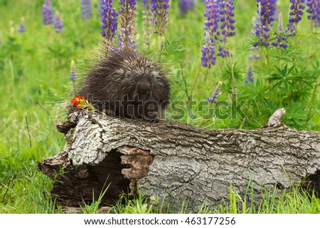 Porcupine (Erethizon dorsatum) on Log with Flower - captive animal