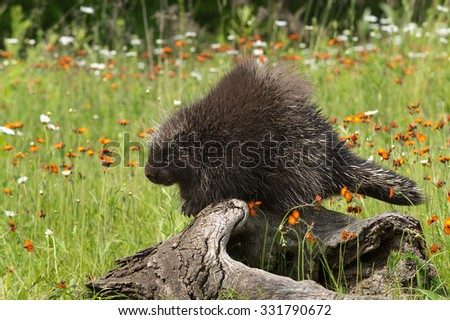 Porcupine (Erethizon dorsatum) Perches on Log Looking Left - captive animal