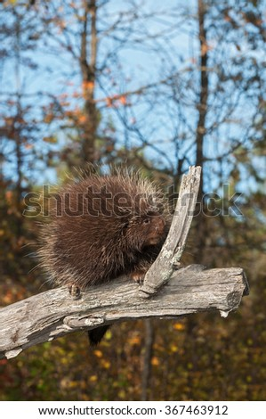 Porcupine (Erethizon dorsatum) Sniffs Branch - captive animal - stock photo