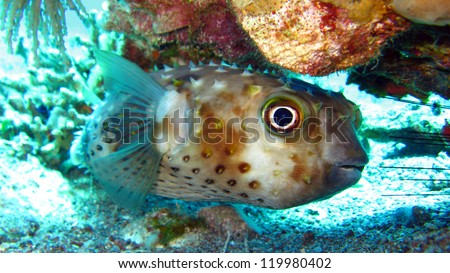 Porcupine fish on the coral reef - stock photo