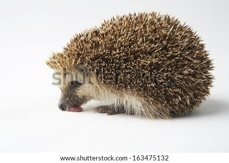 Porcupine in studio