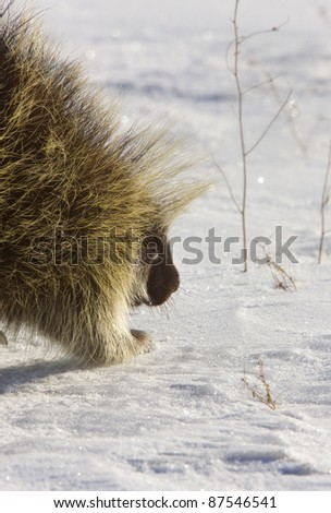 Porcupine in winter Saskatchewan Canada Cold Freezing beauty quills