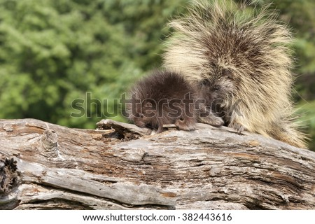 Porcupine Mom and Baby - stock photo