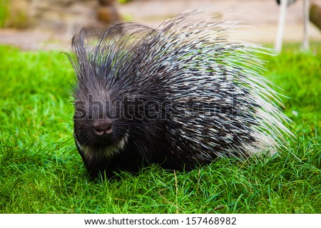 Porcupine on grass - stock photo