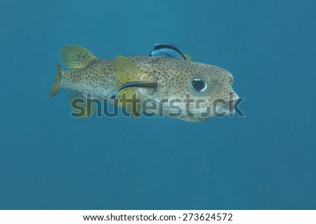 Porcupine Pufferfish, Diodon hystrix, Cleanerfish , Labroides dimidiatus , A porcupine pufferfish  being cleaned by  bluestreak cleaner wrasse  - stock photo