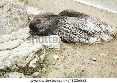 Porcupine resting lying field, animals and nature - stock photo