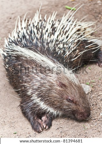 Porcupine sleeping