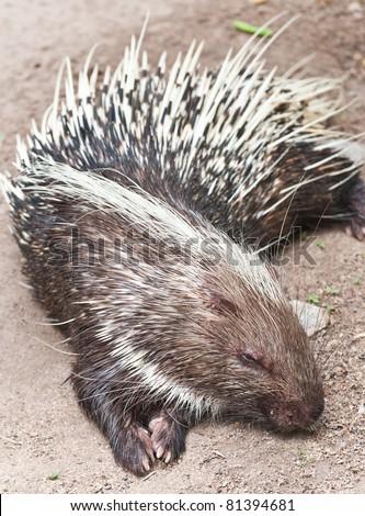 Porcupine sleeping - stock photo