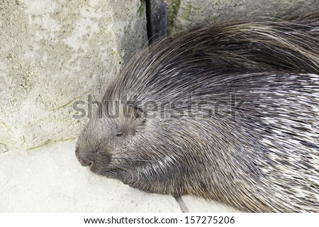 Porcupine wild in a zoo, an animal detail exotic mammal - stock photo