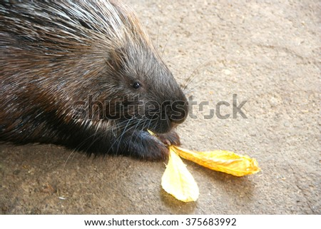 porcupine zoo safari park head of animal feed eating eat nose funny portrait with yellow leaves - stock photo