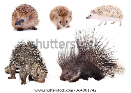 Porcupines and hedgehogs set isolated on white background - stock photo