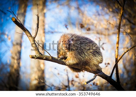 Porcupines are rodents with a coat of sharp spines, or quills, that protect against predators. They live in wooded areas and climb trees, where some species spend their entire lives. - stock photo