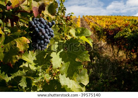 Port wine grapes on a beautiful vineyard in the Douro Region, Portugal. - stock photo