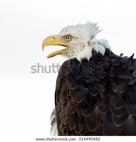 Portait of a blad eagle screaming - stock photo