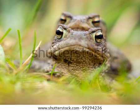 Portait of a couple of Common Toad (Bufo bufo) during spring migration