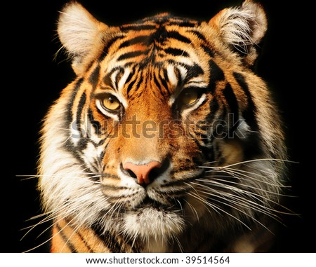 Portait of a majestic Sumatran tiger over black, endangered species - stock photo