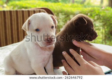 Portrait adorable little puppies, two hands playing, focus on white  dog, soft focus - stock photo