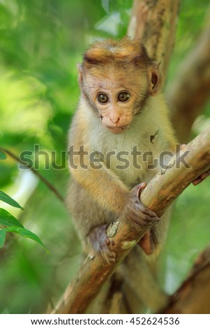 Portrait baby macaque on a tree branch. Sri Lanka