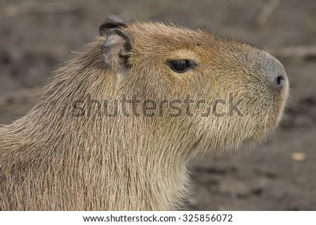 portrait Capybara, Hydrochoerus hydrochaeris, the largest rodent - stock photo