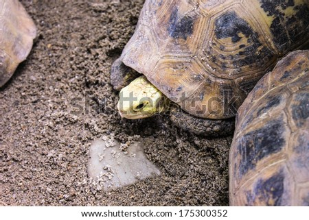 portrait close-up turtle walk on ground - stock photo