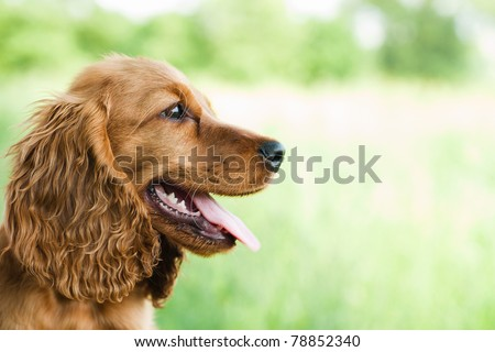 portrait Cocker Spaniel - stock photo
