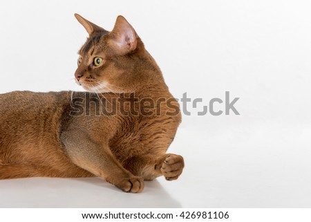 Portrait Curious Abyssinian cat lying on ground and looking back. White background with reflection. - stock photo
