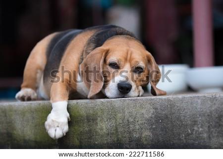 Portrait cute beagle puppy dog  - stock photo