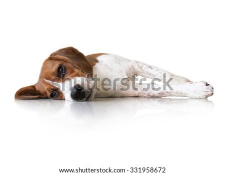Portrait cute beagle puppy dog sleep - stock photo