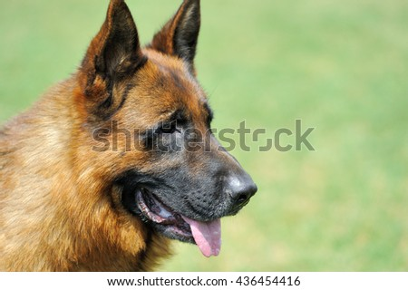 Portrait German Shepherd dog in green summer grass background - stock photo
