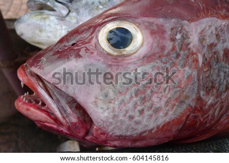 Portrait head of a large deep-water tropical fish with maroon and gray gleam on the scales, yellow eyes and dark blue pupil.