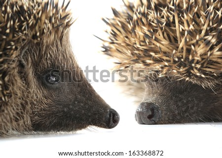 portrait hedgehog  on a white background