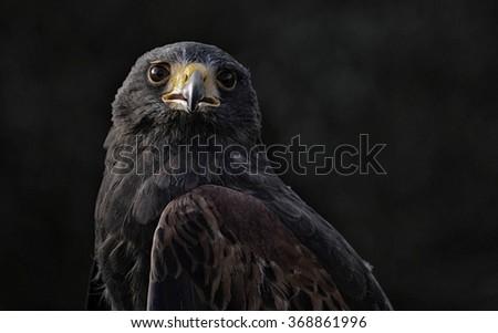 Portrait image of a black Harris hawk  - stock photo