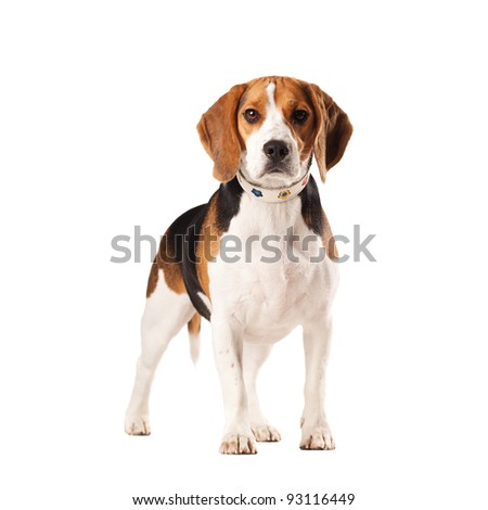 portrait image of dog Beagle standing. Isolated on a white background - stock photo