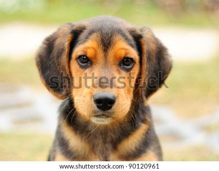 Portrait image of small black beagle. - stock photo