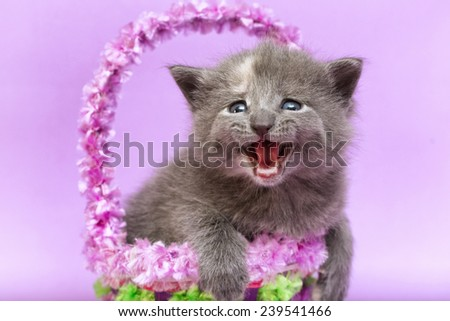 Portrait Kitten has brown fur, it sits in the basket with flowers on purple background - stock photo