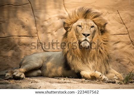 Portrait lion - stock photo