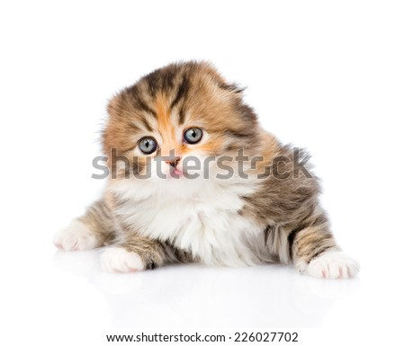Portrait lop-eared Scottish kitten. isolated on white background