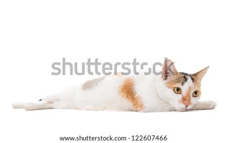 Portrait Malaysian sad short haired cat sitting on white background - stock photo