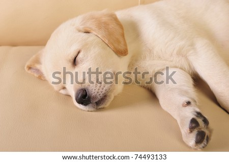 Portrait of a adorable labrador puppy, laying on sofa at home. Copyspace for your text and logo - stock photo