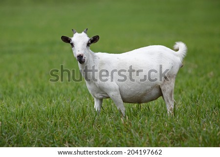 Portrait of a african goat looking into the camera