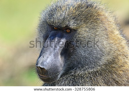 Portrait of a Baboon on the savannah of the park Nakuru in Kenya