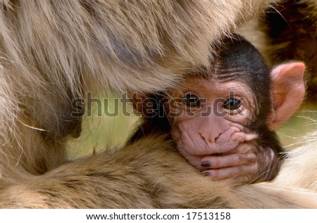 Portrait of a baby Barbary Macaque (Macacus sylvanus) hiding on the lap and under the arms of its mother and looking anxious but curious - stock photo