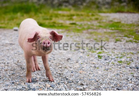 Portrait of a baby pig with a funny expression, outdoor - stock photo