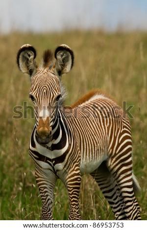 Portrait of a baby Zebra - stock photo
