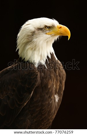 Portrait of a Bald Eagle - stock photo